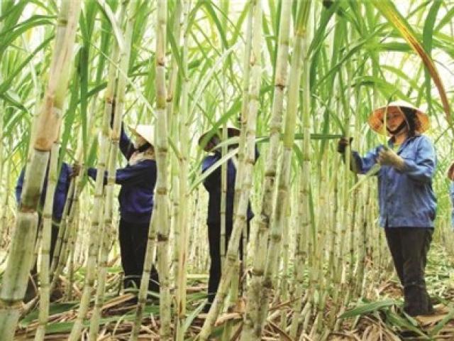 """""""Sóng gió"""" ngành mía đường: Giá tụt dốc, doanh nghiệp lao đao"""