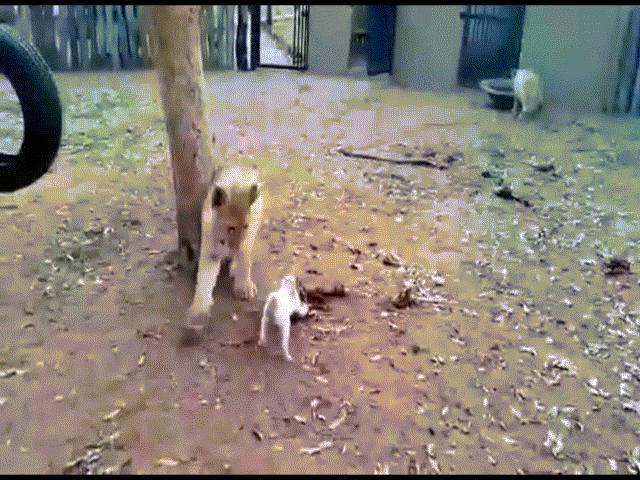 Video: Thấy sư tử mon men cướp thịt, chó con điên tiết nhảy chồm lên cắn