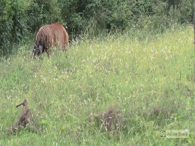 Video: Trận tử chiến lệch hạng cân giữa mãnh hổ 220kg và bò tót hơn 1 tấn, kết cục ra sao?