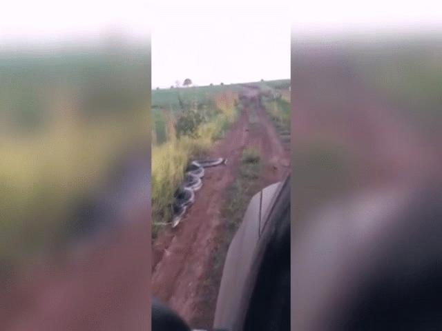 Video: Trăn Anaconda dài 7 mét tấn công khi ô tô lại gần