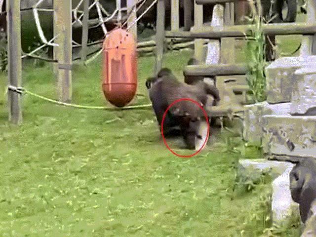 Video: Hành động giống người khó tin của khỉ đột khi thấy khỉ con văng xuống đất