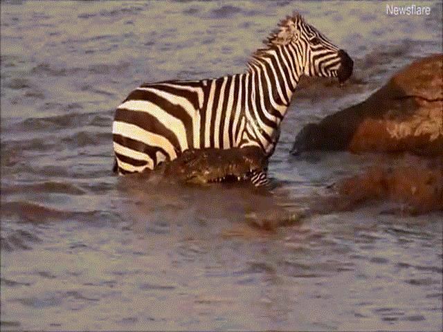 Video: Ngựa vằn vượt sông bị cá sấu ngoạm chặt chân và cái kết khó ngờ