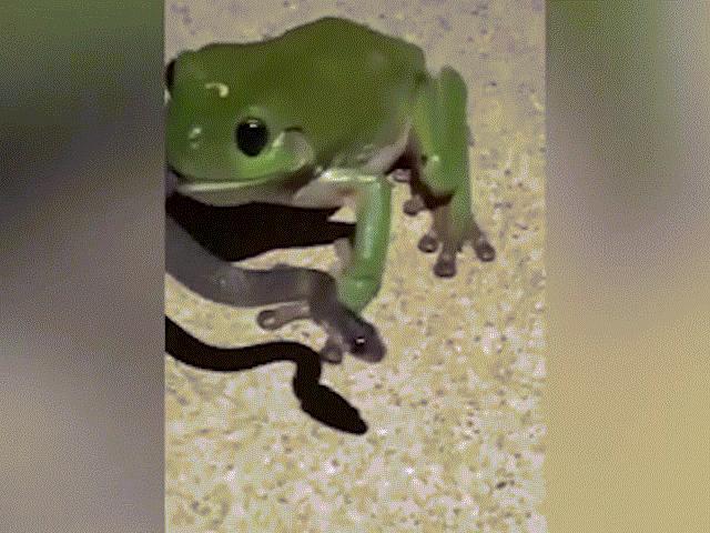 Kỳ quái cảnh ếch nuốt sống rắn độc