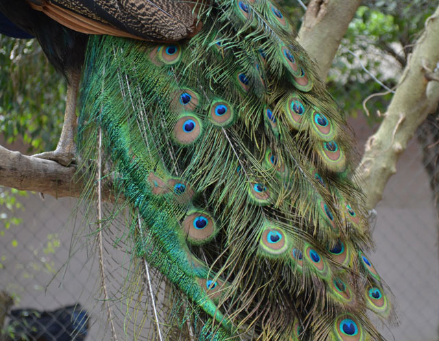 Mua chim công chơi Tết, cầu tài lộc, quyền quý - hình ảnh 4