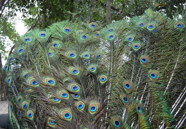 Mua chim công chơi Tết, cầu tài lộc, quyền quý - hình ảnh 5