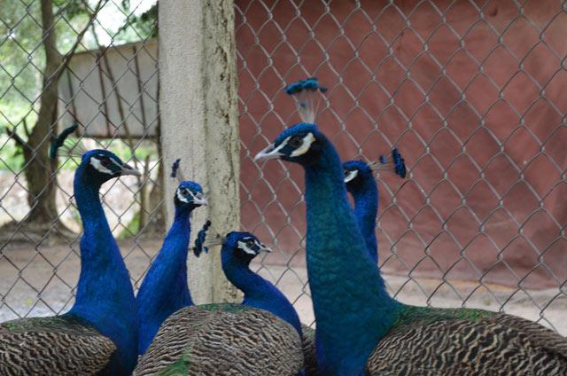 Mua chim công chơi Tết, cầu tài lộc, quyền quý - hình ảnh 6
