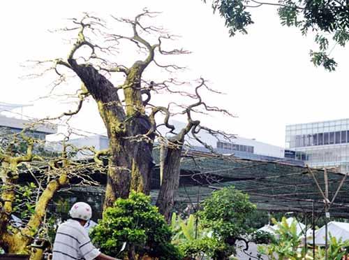 Ngắm dàn lộc vừng gần chục tỷ đồng ở Sài Gòn - hình ảnh 6