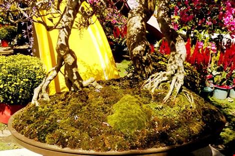Ngỡ ngàng ngắm cây mai lạ có hoa màu… tím - hình ảnh 2