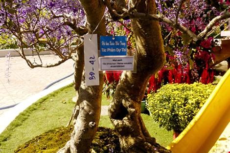 Ngỡ ngàng ngắm cây mai lạ có hoa màu… tím - hình ảnh 3