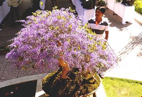 Ngỡ ngàng ngắm cây mai lạ có hoa màu… tím - hình ảnh 5