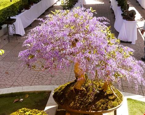 Ngỡ ngàng ngắm cây mai lạ có hoa màu… tím - hình ảnh 7