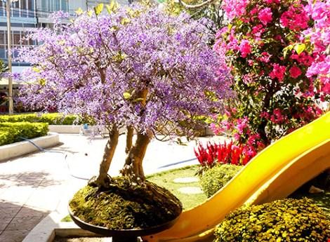 Ngỡ ngàng ngắm cây mai lạ có hoa màu… tím - hình ảnh 8