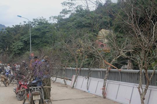 Săn đào đá Lào về chơi tết - hình ảnh 1