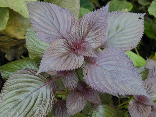 7 loại rau thơm nổi tiếng phòng, chữa bách bệnh - hình ảnh 3
