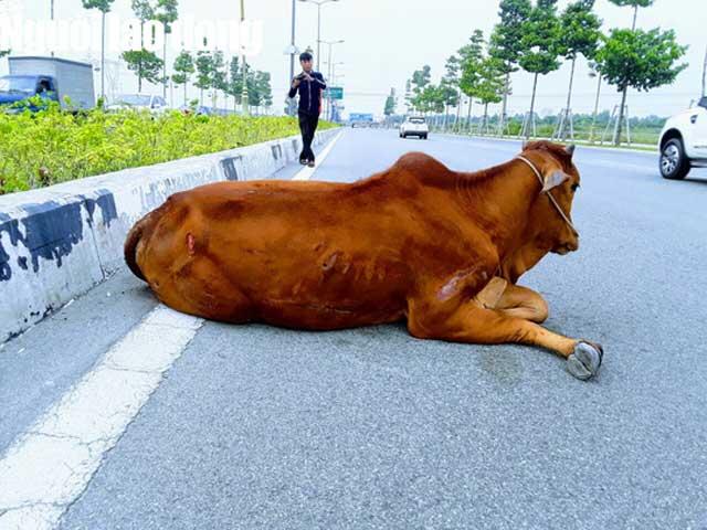 """Vụ con bò """"biến mất"""" tại trụ sở công an: Đã bán hay tiêu hủy? - hình ảnh 2"""