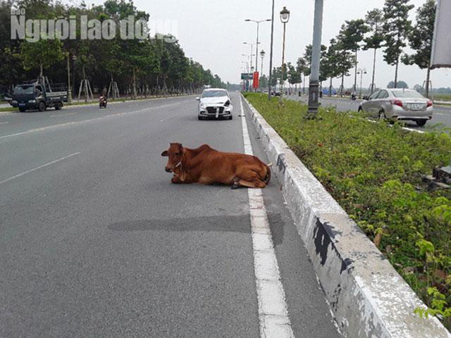 """Vụ con bò """"biến mất"""" tại trụ sở công an: Đã bán hay tiêu hủy? - hình ảnh 3"""