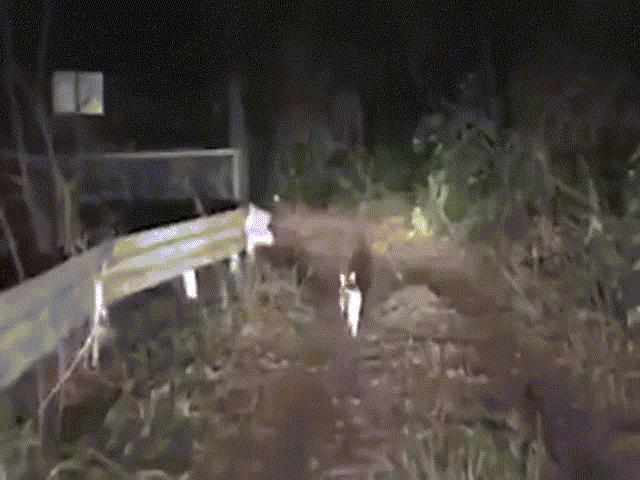 Mèo hoang dẫn đường cho tài xế lạc trong rừng đêm