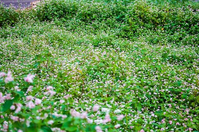 Vườn tam giác mạch rực rỡ giữa lòng phố núi Pleiku - hình ảnh 1