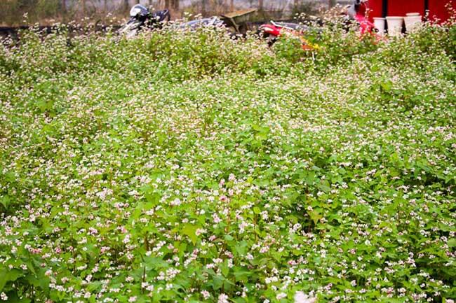 Vườn tam giác mạch rực rỡ giữa lòng phố núi Pleiku - hình ảnh 8