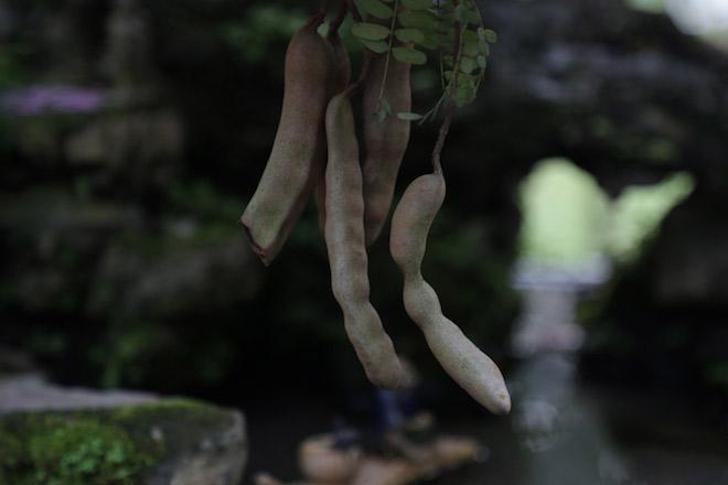 """Cây me dáng kiều nữ, ra trái xum xuê gây """"sốt"""" ở Sài Gòn - hình ảnh 6"""