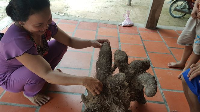 """Dỡ bờ đất, nông dân Vĩnh Long thu được củ khoai """"khủng"""" nặng 26kg - hình ảnh 2"""