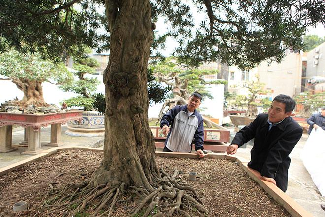 Chiêm ngưỡng cây tùng cổ, được cho là 400 năm tuổi, đắt ngang siêu xe - hình ảnh 2
