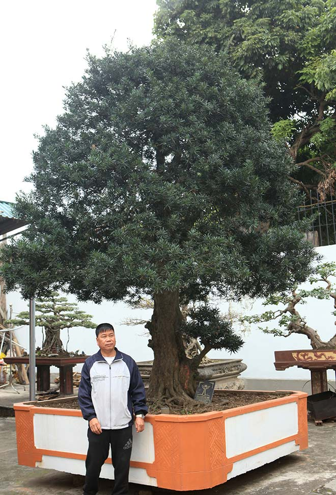 Chiêm ngưỡng cây tùng cổ, được cho là 400 năm tuổi, đắt ngang siêu xe - hình ảnh 1