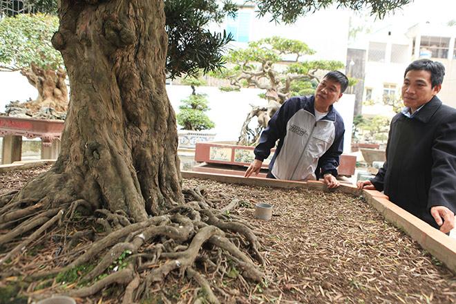 Chiêm ngưỡng cây tùng cổ, được cho là 400 năm tuổi, đắt ngang siêu xe - hình ảnh 3