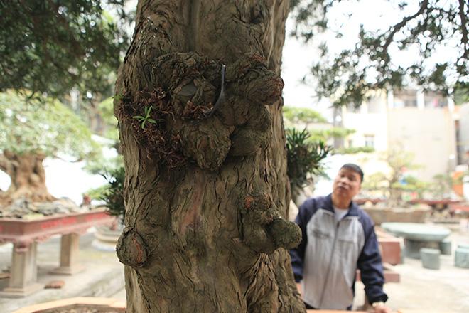 Chiêm ngưỡng cây tùng cổ, được cho là 400 năm tuổi, đắt ngang siêu xe - hình ảnh 6