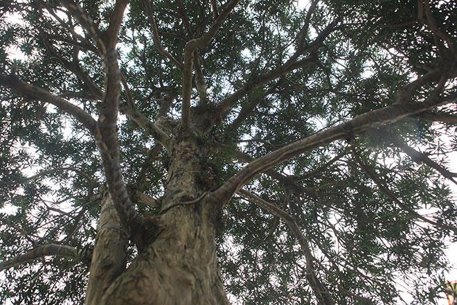 Chiêm ngưỡng cây tùng cổ, được cho là 400 năm tuổi, đắt ngang siêu xe - hình ảnh 4