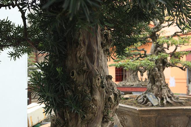 Chiêm ngưỡng cây tùng cổ, được cho là 400 năm tuổi, đắt ngang siêu xe - hình ảnh 9