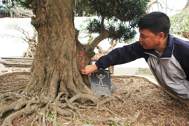 Chiêm ngưỡng cây tùng cổ, được cho là 400 năm tuổi, đắt ngang siêu xe - hình ảnh 5