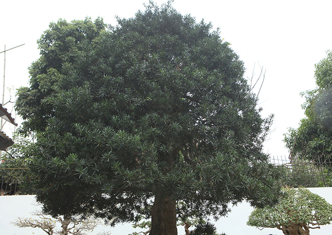 Chiêm ngưỡng cây tùng cổ, được cho là 400 năm tuổi, đắt ngang siêu xe - hình ảnh 7