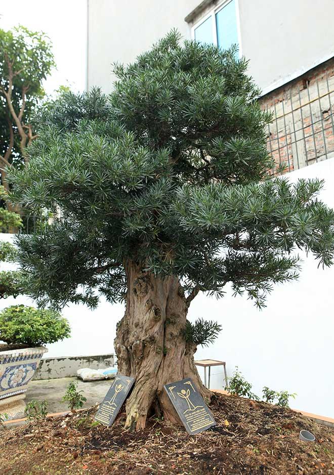 Chiêm ngưỡng cây tùng cổ, được cho là 400 năm tuổi, đắt ngang siêu xe - hình ảnh 8