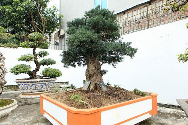 Chiêm ngưỡng cây tùng cổ, được cho là 400 năm tuổi, đắt ngang siêu xe - hình ảnh 11