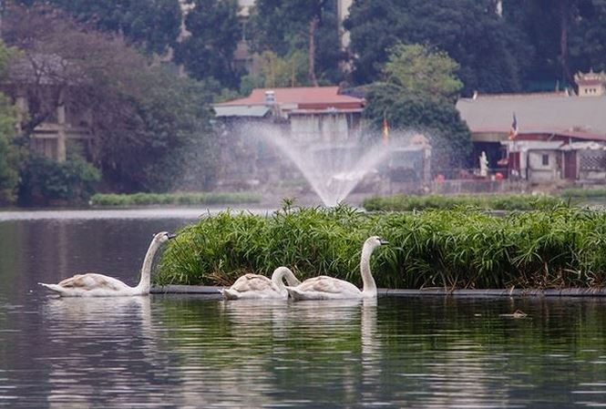 Thiên nga được bảo vệ ra sao ở hồ Thiền Quang dịp Tết? - 1