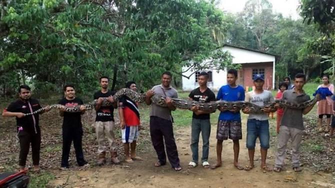 Malaysia: Bắt trăn khổng lồ dài 6m, cần tới 7 người khiêng - 1