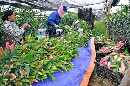 Hoa ly rớt giá thê thảm do nở muộn - 1