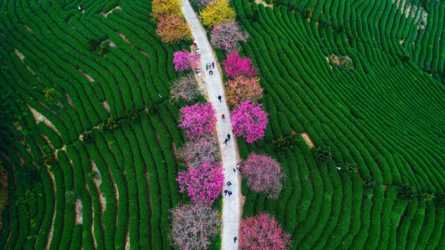 Những cây hoa anh đào khoe sắc rực rỡ trên một nông trường chè ở thị trấn Long Nham, tỉnh Phúc Kiến, Trung Quốc.
