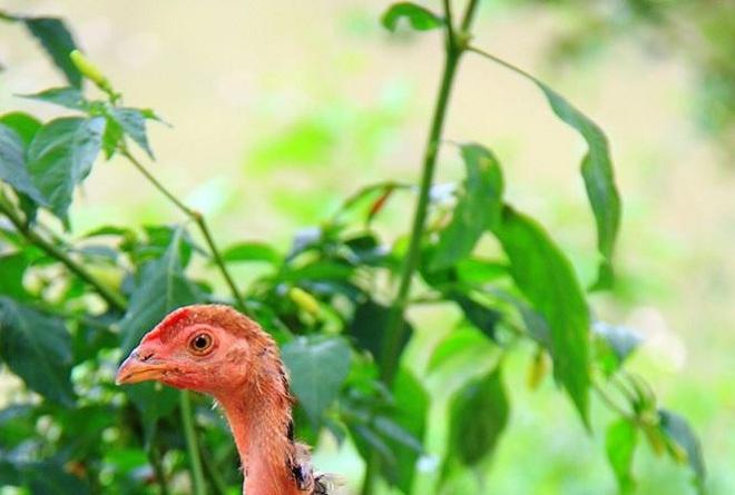 25 người nhập viện cấp cứu do ăn thịt gà nhiễm thuốc chuột - 1