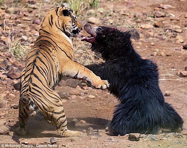 Video: Kịch chiến giữa hổ và gấu, kết thúc đầy bất ngờ - 1