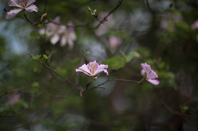 Sao phải lên tận Tây Bắc, giữa thủ đô cũng có hoa ban đẹp tới nao lòng thế này - hình ảnh 4