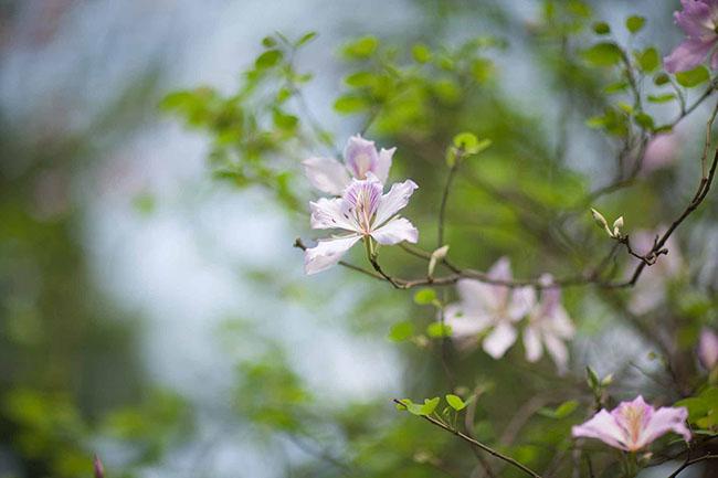 Sao phải lên tận Tây Bắc, giữa thủ đô cũng có hoa ban đẹp tới nao lòng thế này - hình ảnh 5