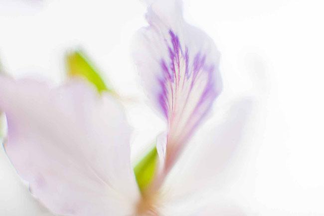 Sao phải lên tận Tây Bắc, giữa thủ đô cũng có hoa ban đẹp tới nao lòng thế này - hình ảnh 6