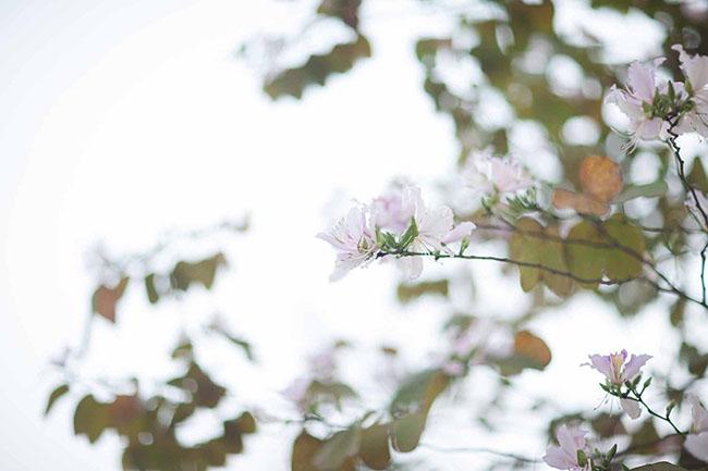 Sao phải lên tận Tây Bắc, giữa thủ đô cũng có hoa ban đẹp tới nao lòng thế này - hình ảnh 9