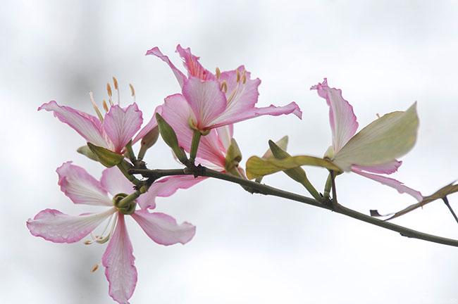 Sao phải lên tận Tây Bắc, giữa thủ đô cũng có hoa ban đẹp tới nao lòng thế này - hình ảnh 18