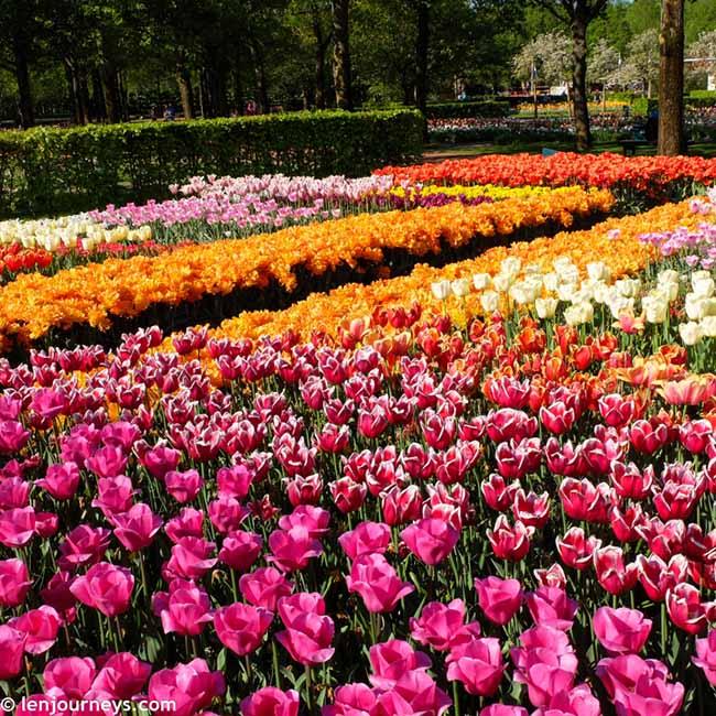 Mãn nhãn với loạt ảnh hoa xuân rực rỡ như lạc vào xứ thần tiên tại Hà Lan - hình ảnh 2