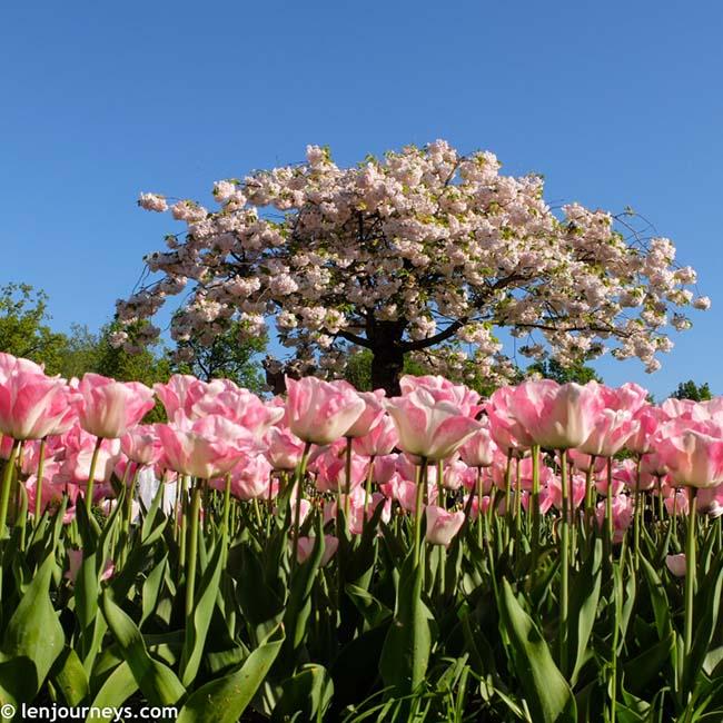 Mãn nhãn với loạt ảnh hoa xuân rực rỡ như lạc vào xứ thần tiên tại Hà Lan - hình ảnh 5