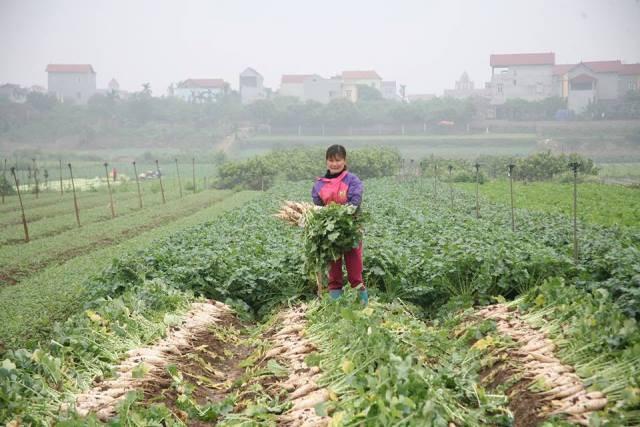 Cận cảnh người dân ngậm ngùi vứt bỏ hàng trăm tấn củ cải vì ế ẩm - 1