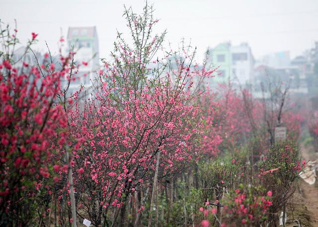 Choáng ngợp với sắc đỏ rực của vựa đào Nhật Tân dịp sát Tết - 3
